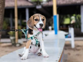 HOW LONG DO BEAGLES LIVE
