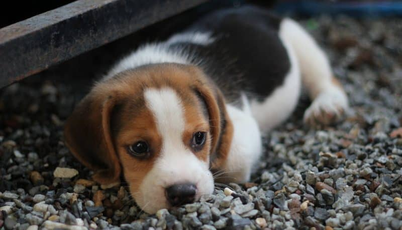 Can You Lengthen The Average Age Of Beagle