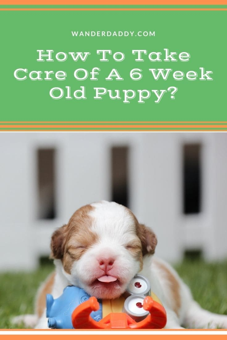 How To Take Care Of A 6 Week Old Puppy