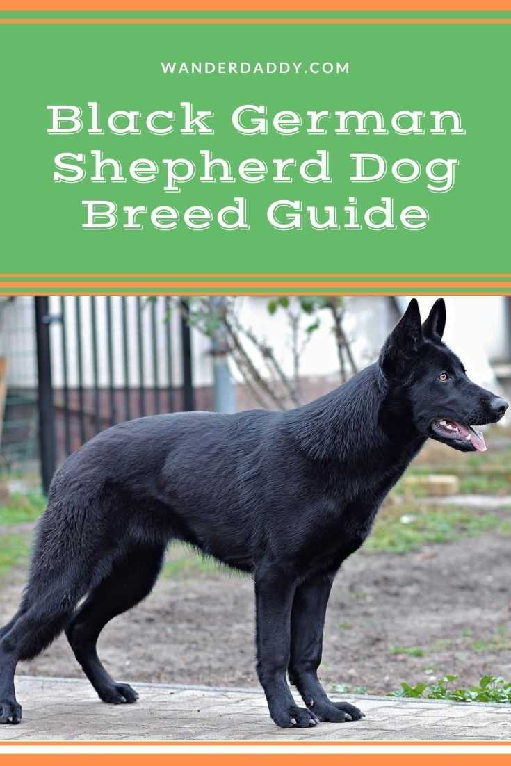 Black German Shepherd Dog Breed Guide