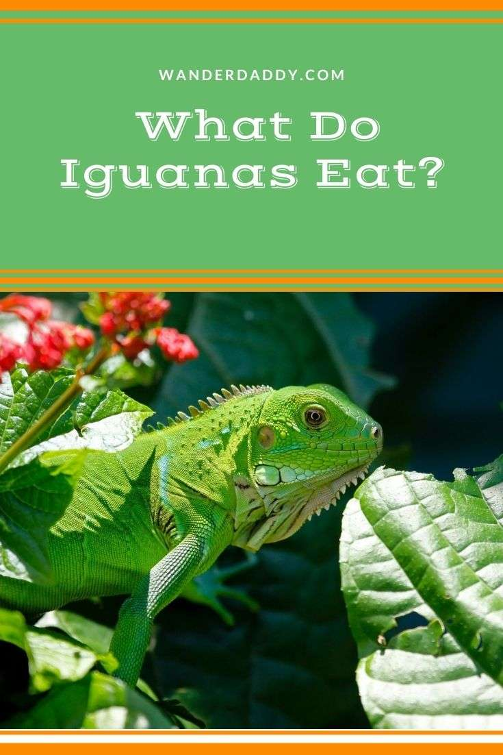 What Do Iguanas Eat