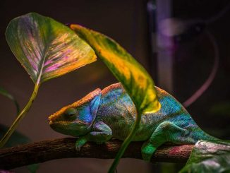 what does a chameleon eat
