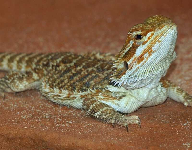 What Not To Feed Bearded Dragons