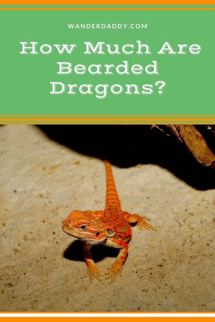 Bearded Dragon Cost