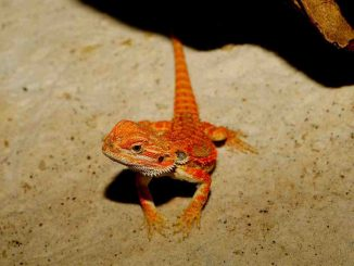 How Much Are Bearded Dragons