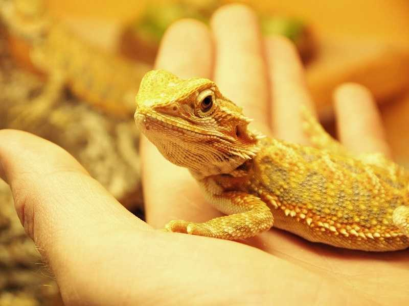 bearded dragon price