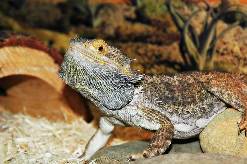 cost of bearded dragon